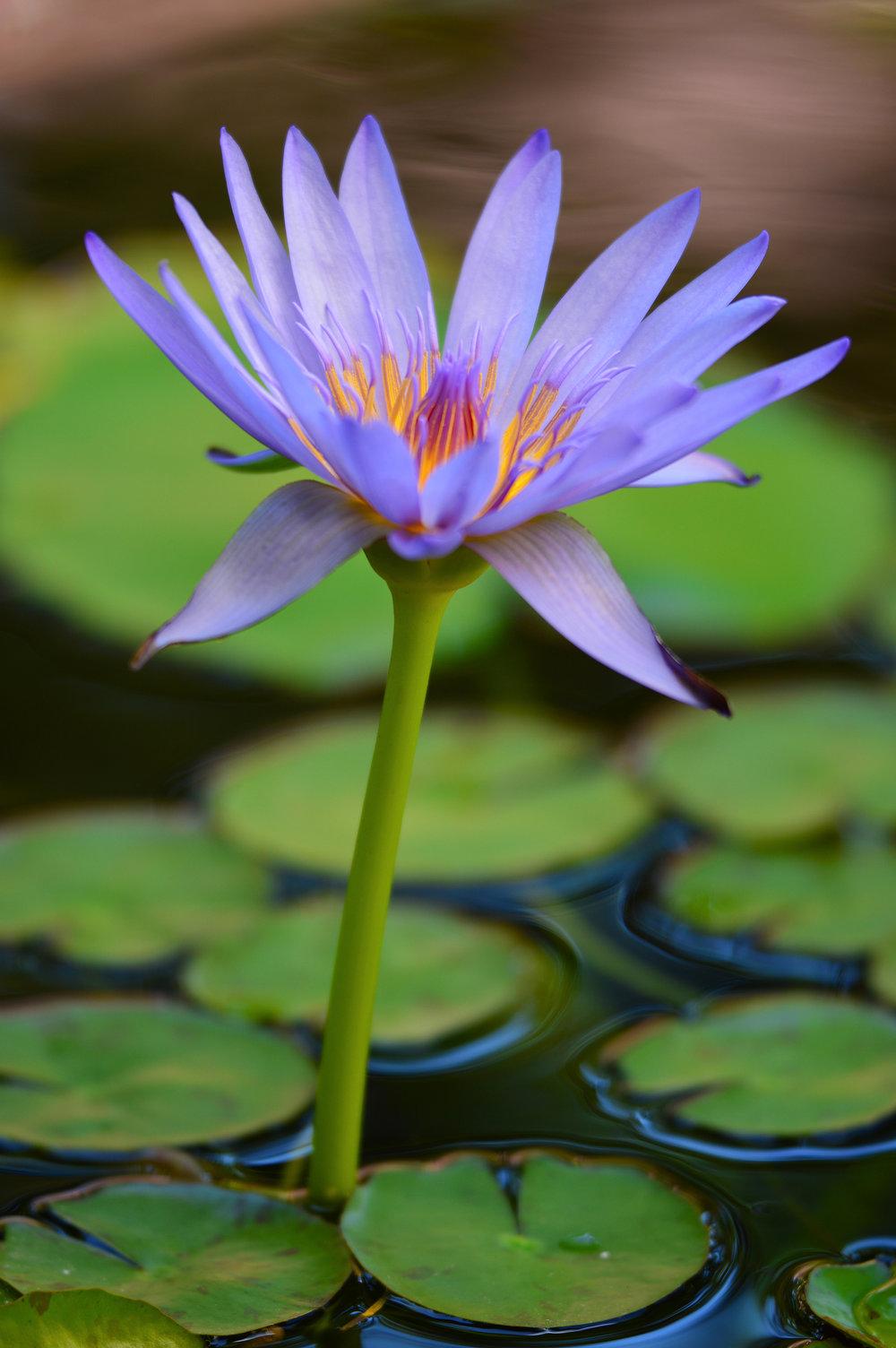 Purple Water Lily in Oahu, Hawaii