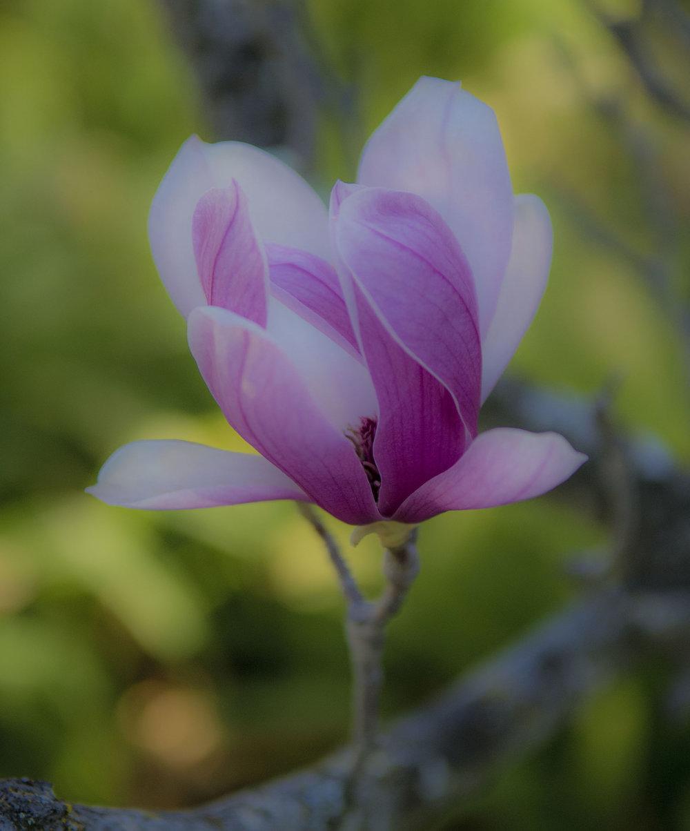 Rustica Rubra Magnolia in Palo Alto, California