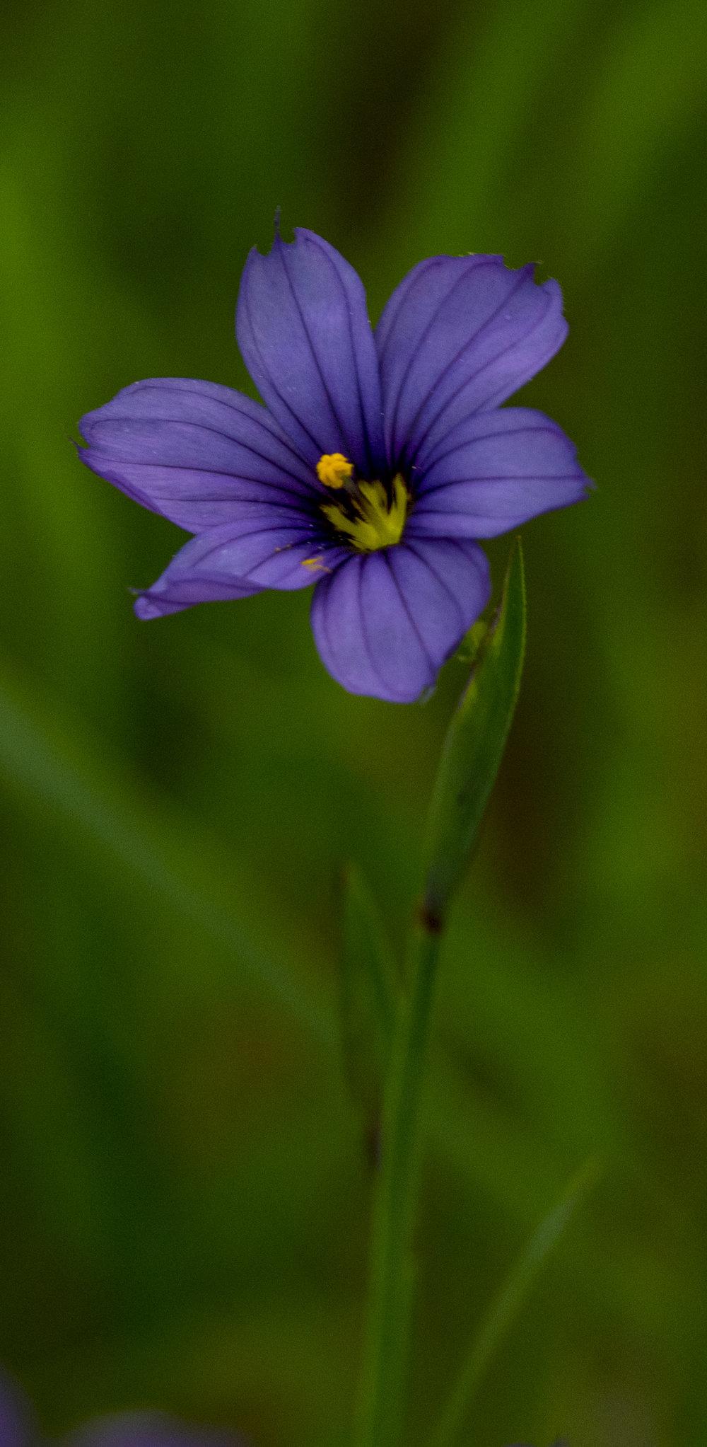 Blue Eyed Grass, Wildflower at Santa Teresa County Park, San Jose, California