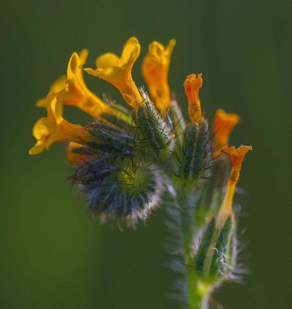 Fiddleneck, Wildflower at Santa Teresa County Park, San Jose, California