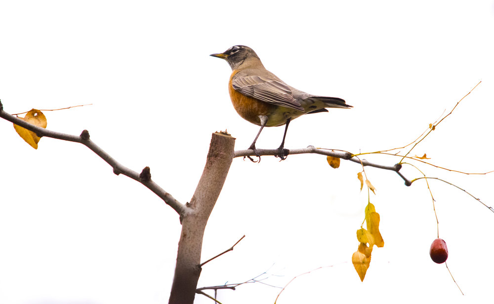 American Robin in San Jose, California