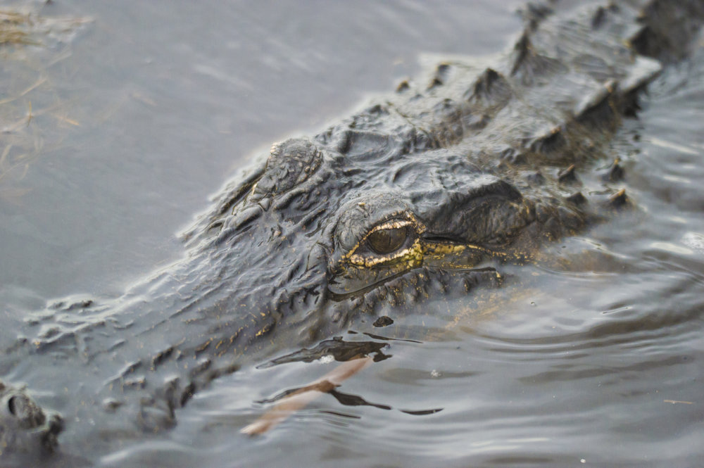 Alligator at Everglades National Park, Florida