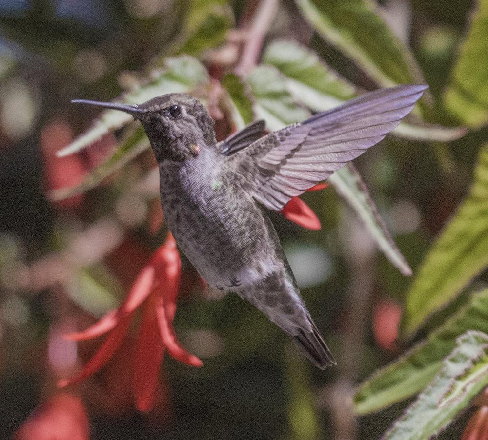 Hummingbird in San Jose, California
