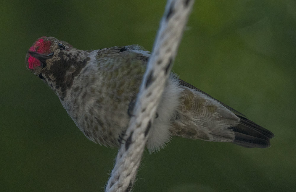Anna's Hummingbird in San Jose, California