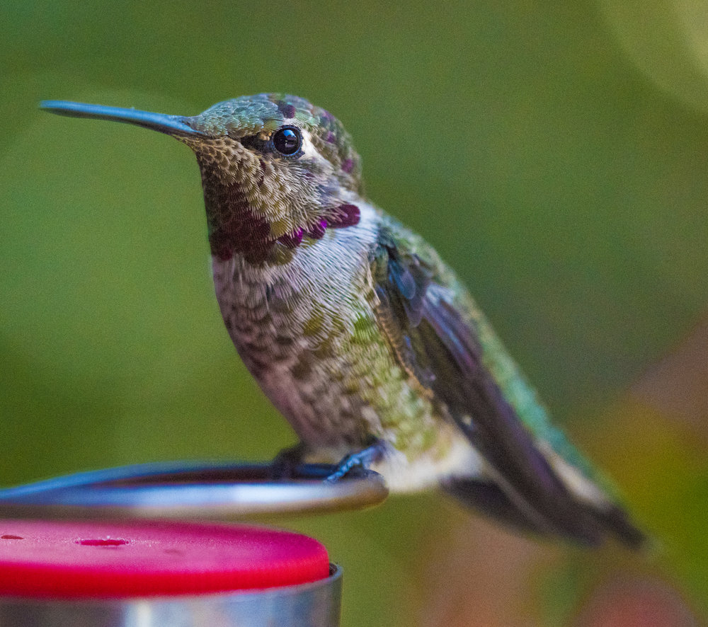 Anna's Hummingbird, San Jose, California