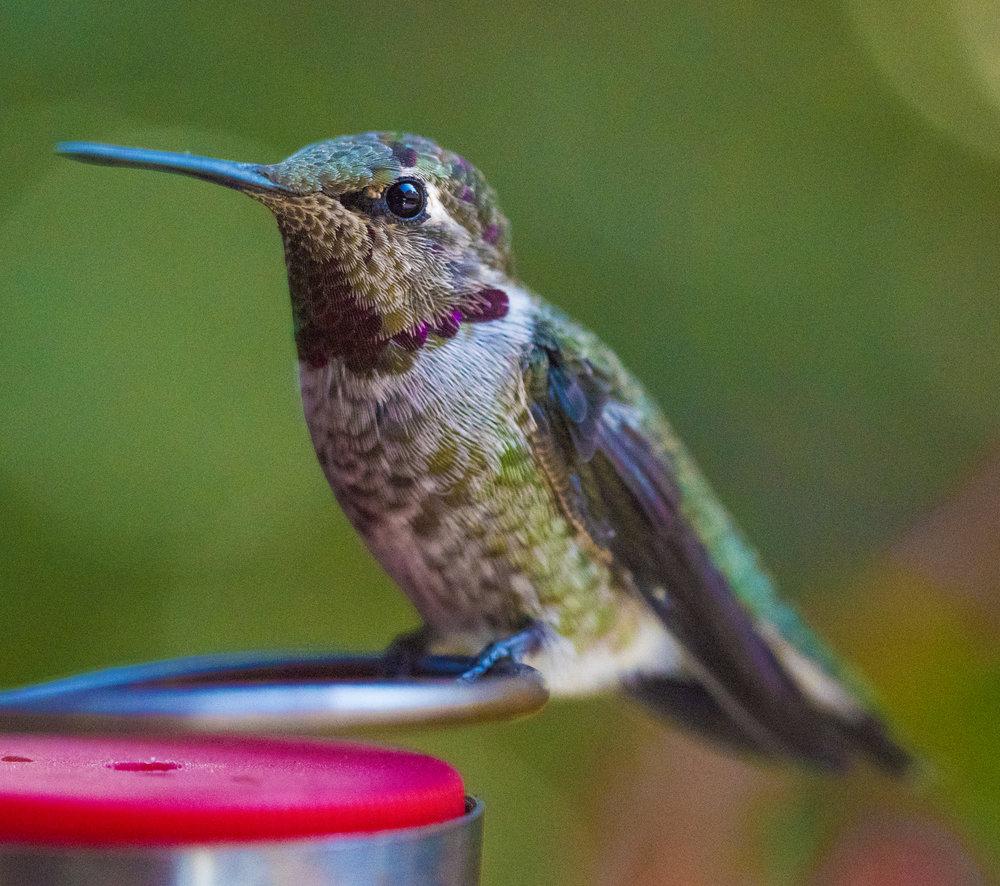 Anna's Hummingbird, San Jose, California