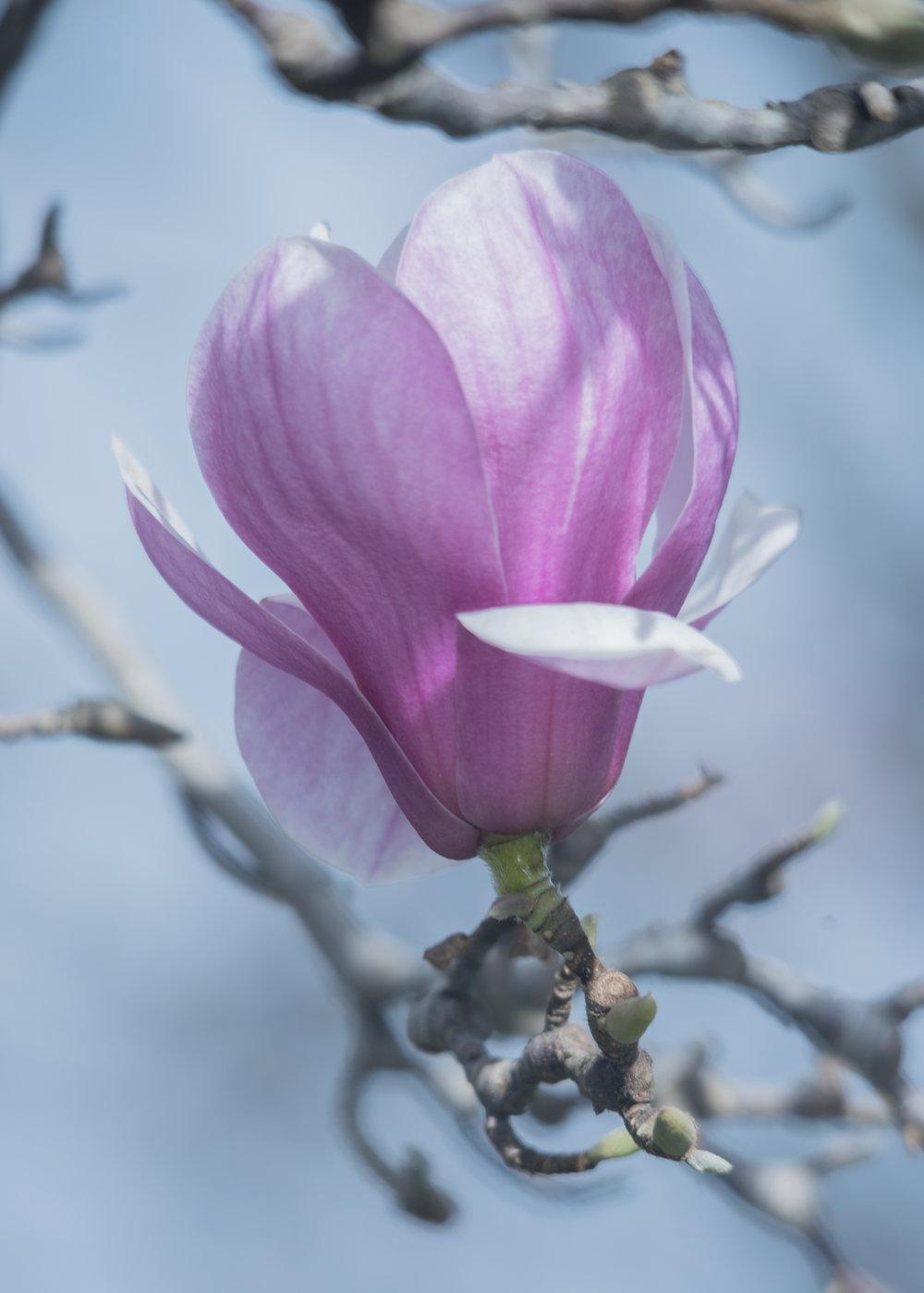 Rustica Rubra Magnolia in San Jose, California