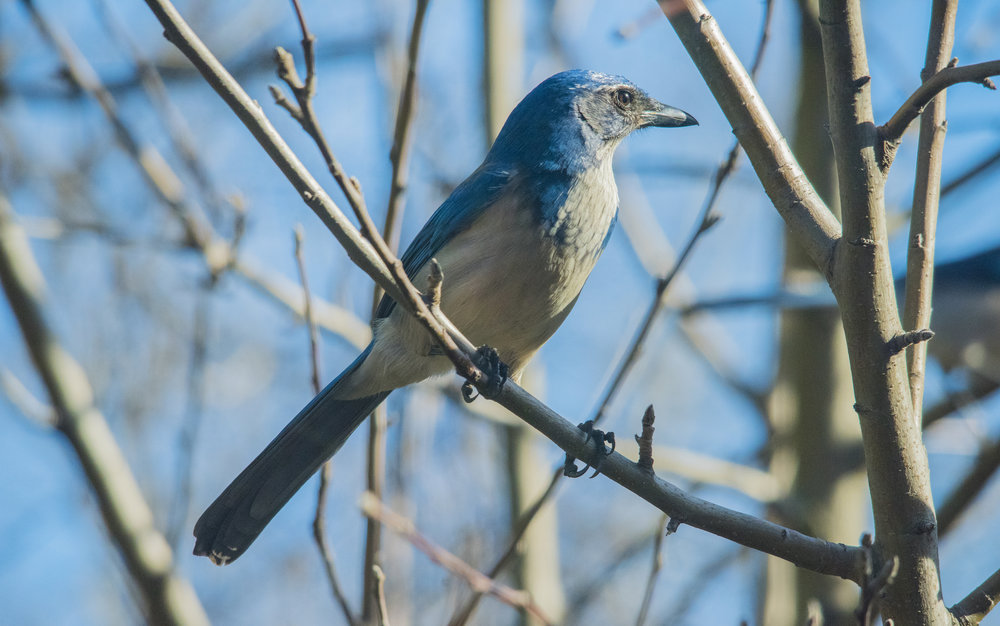 California Scrub-Jay in San Jose, California