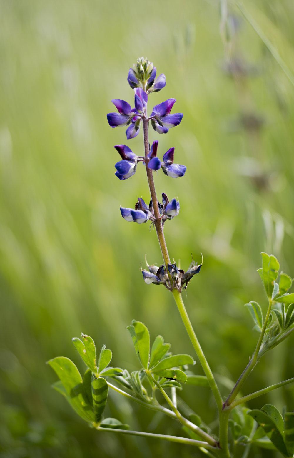 Sky Lupine, Wildflower at Santa Teresa County Park, San Jose, California