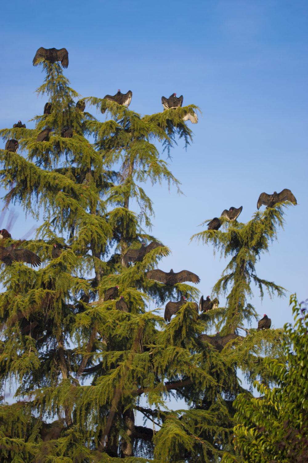Turkey Vultures in San Jose, California