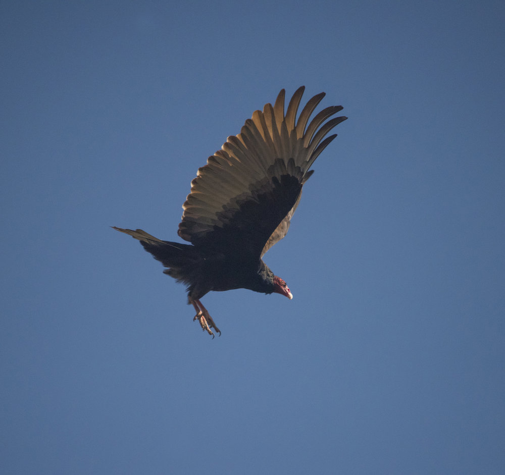 Turkey Vulture in San Jose, California