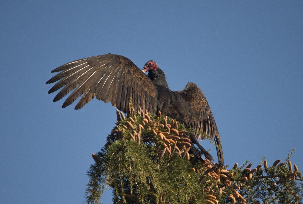 Turkey Vulture in San Jose, California