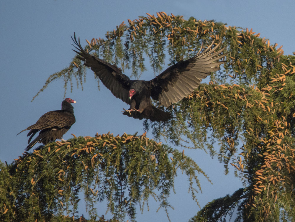 Turkey Vultures in San Jose, California