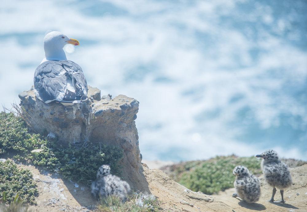 Seagull Family, La Jolla, San Diego, California