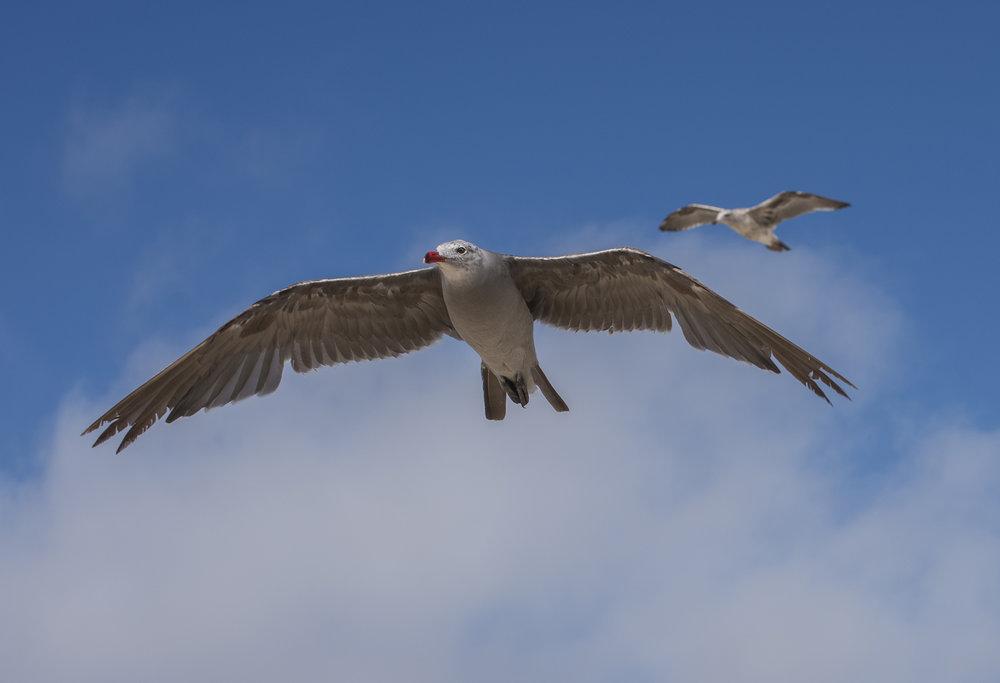 California Gulls at Venice Beach, Los Angeles, California