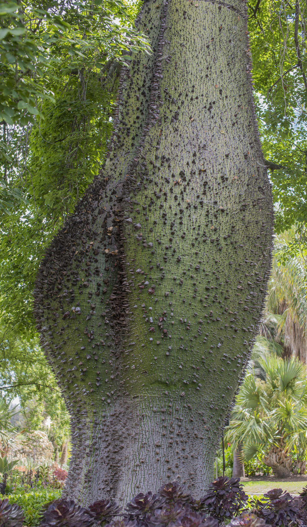 Chorisia Insignis at Huntington Botanical Gardens, San Marino, California