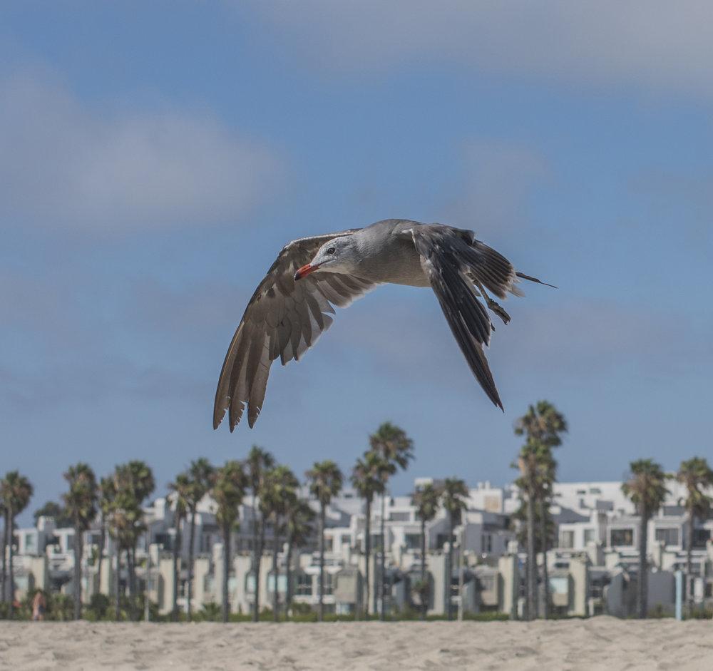 California Gull at Venice Beach, Los Angeles, California