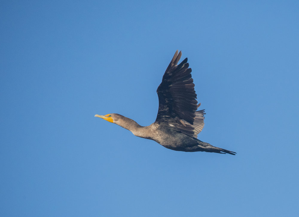 Double-Crested Cormorant at Baylands Nature Preserve, Palo Alto, California