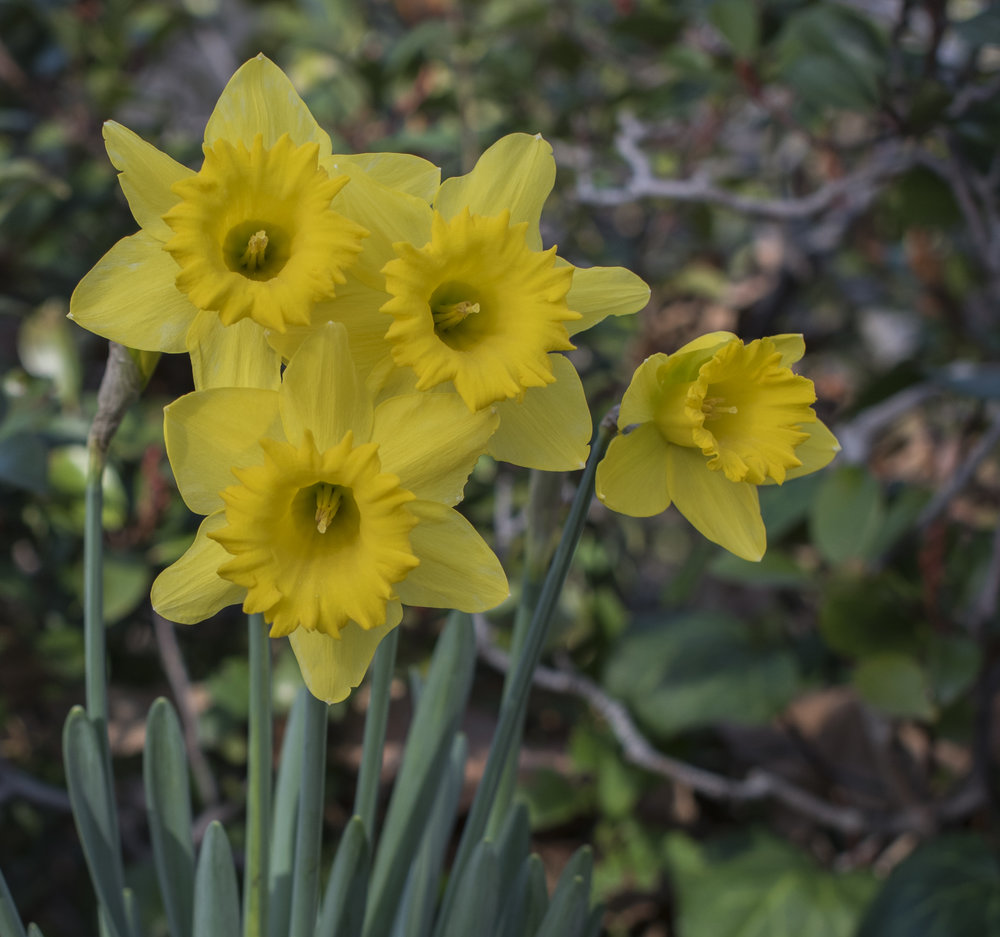 Daffodils in San Jose, California