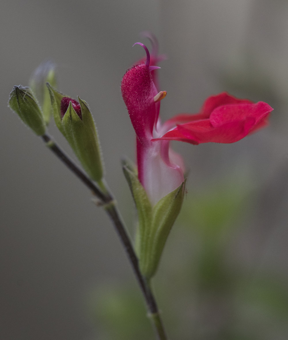 Salvia Microphylla in San Jose, California