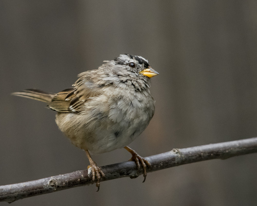 White-crowned Sparrow in San Jose, California