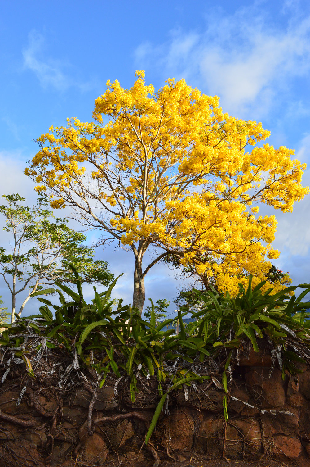 Gold Tree, Prima Vera, or Trumpet Tree in Haleiwa, Hawaii