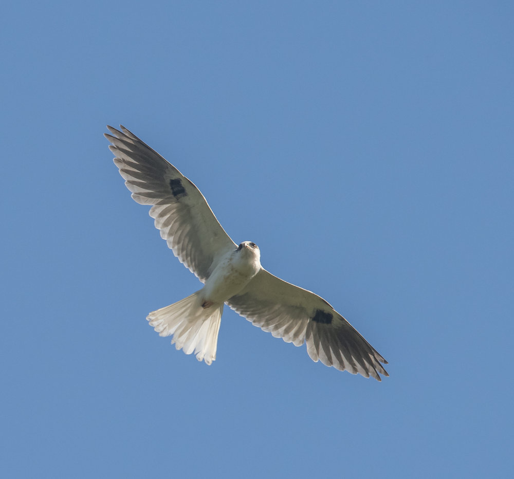 White-tailed Kite, San Jose, California