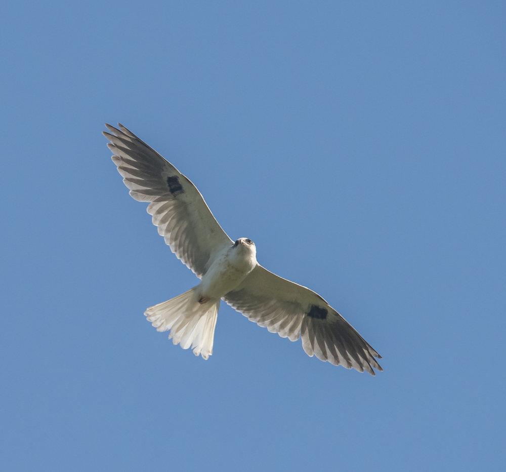 White-tailed Kite at Santa Teresa County Park, San Jose, California