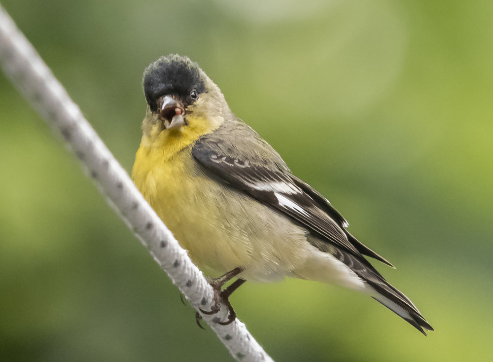 Lesser Goldfinch in San Jose, California