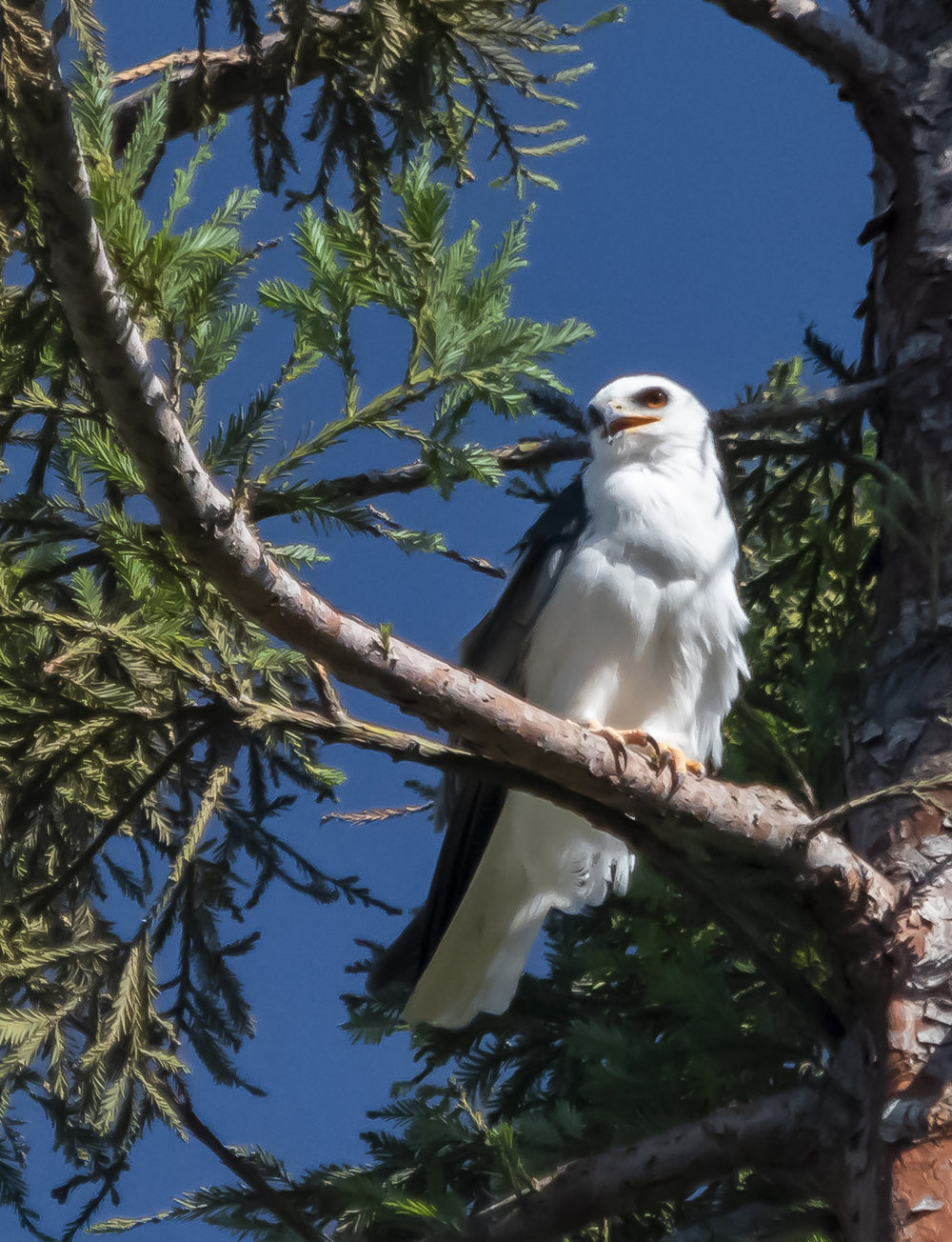 White-tailed Kite in San Jose, California