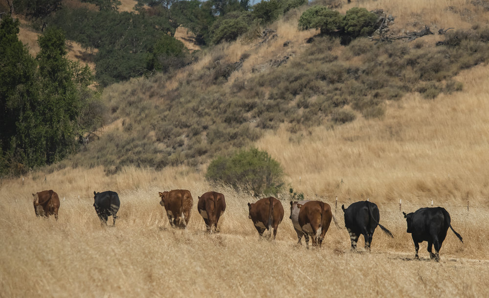 Cows at Coyote Valley Open Space Preserve, Morgan Hill, California