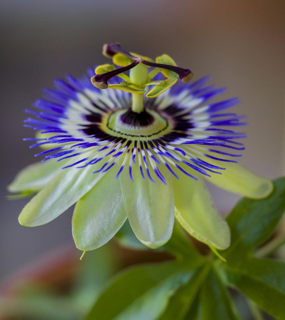 Passion Flower, San Jose, California