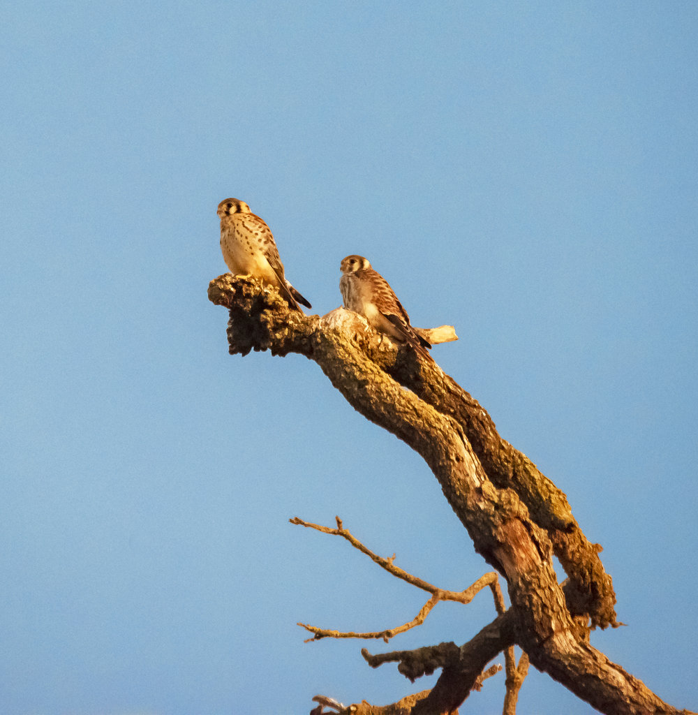 American Kestrel at Coyote Valley Open Space Preserve, Morgan Hill, California