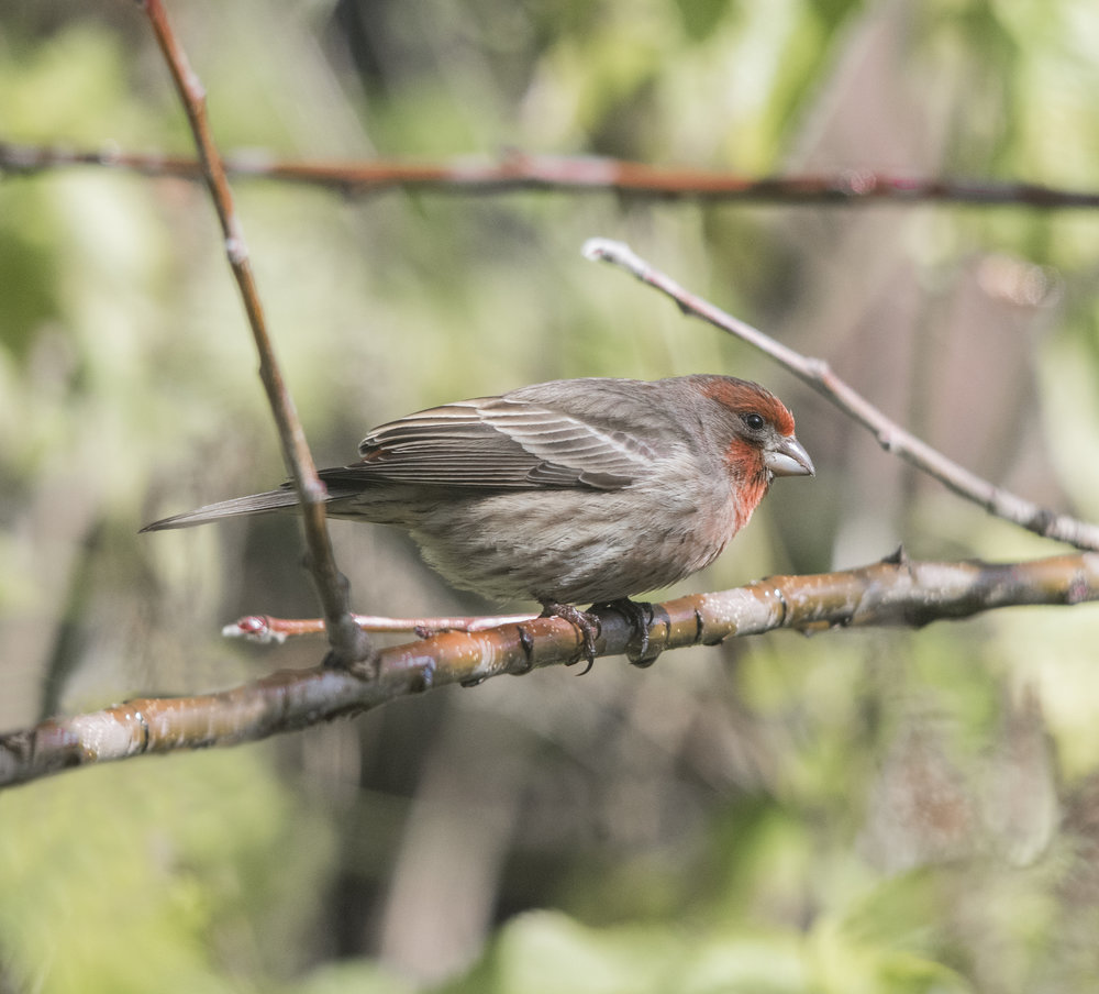 House Finch in San Jose, California
