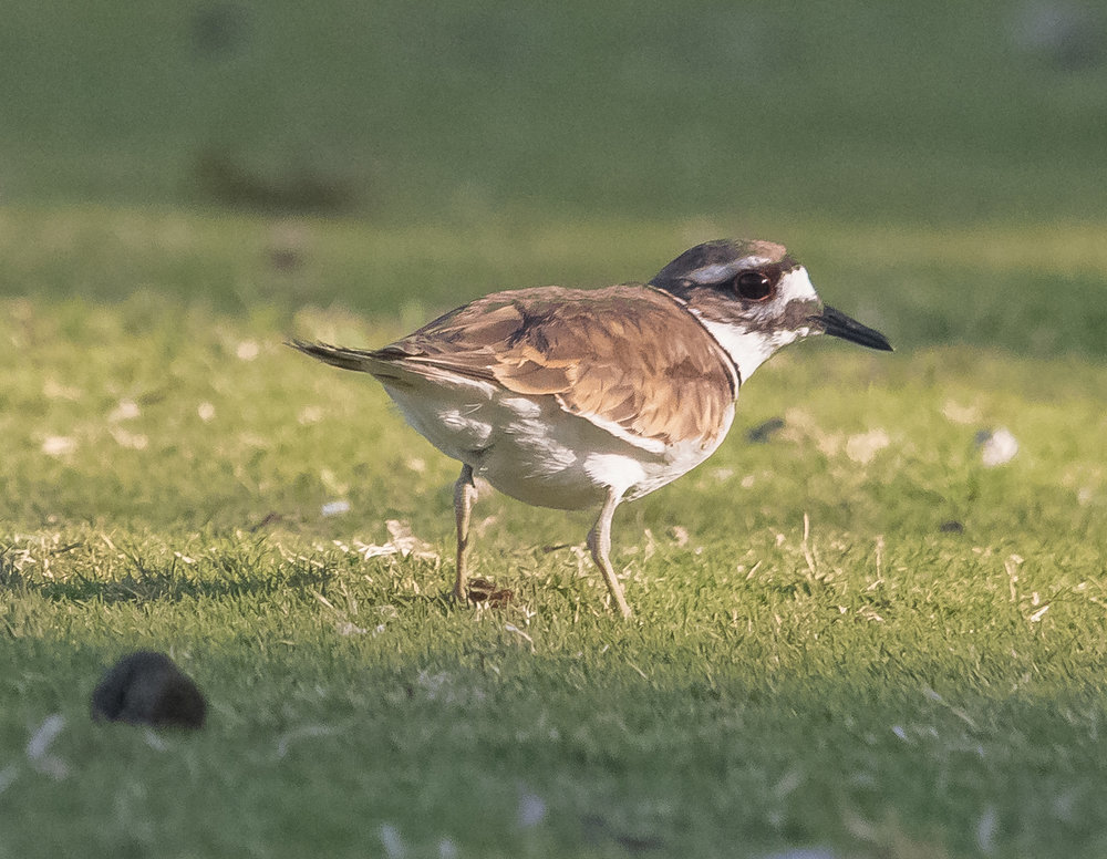 Killdeer at Almaden Lake Park, San Jose, California