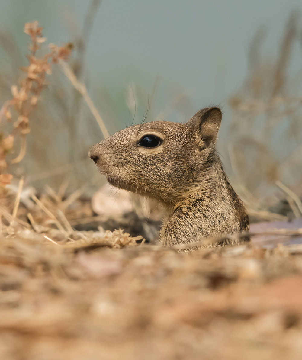 Baby California Ground Squirrel, Almaden Lake Park, San Jose, California