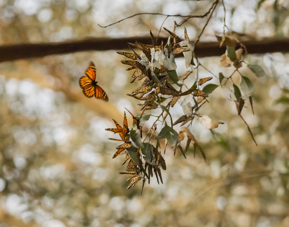 Migrating Monarch Butterflies, Santa Cruz, California