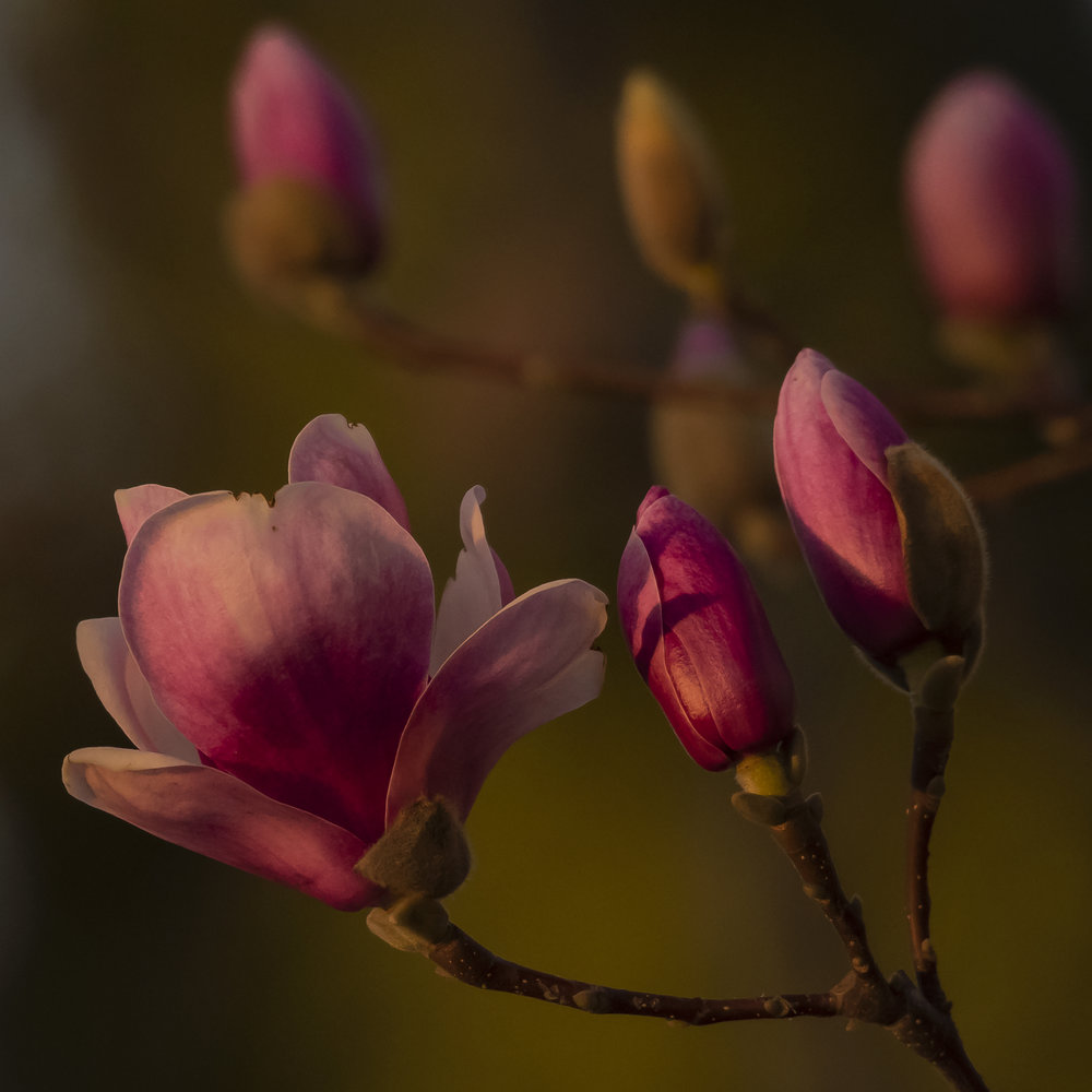 Rustica Rubra Magnolia