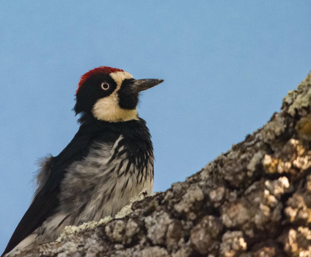 Acorn Woodpecker at Coyote Valley Open Space Preserve, California