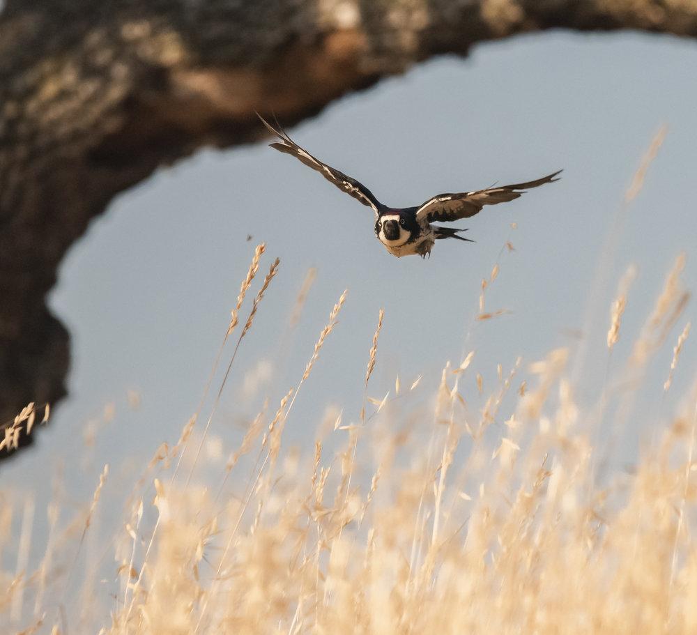 Acorn Woodpecker at Coyote Valley Open Space Preserve, Morgan Hill, California