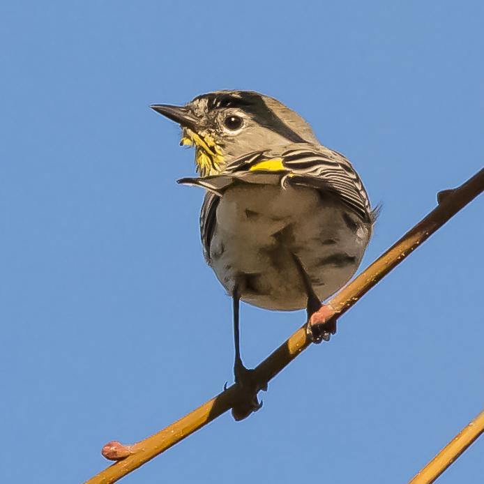Yellow-rumped Warbler in San Jose, California
