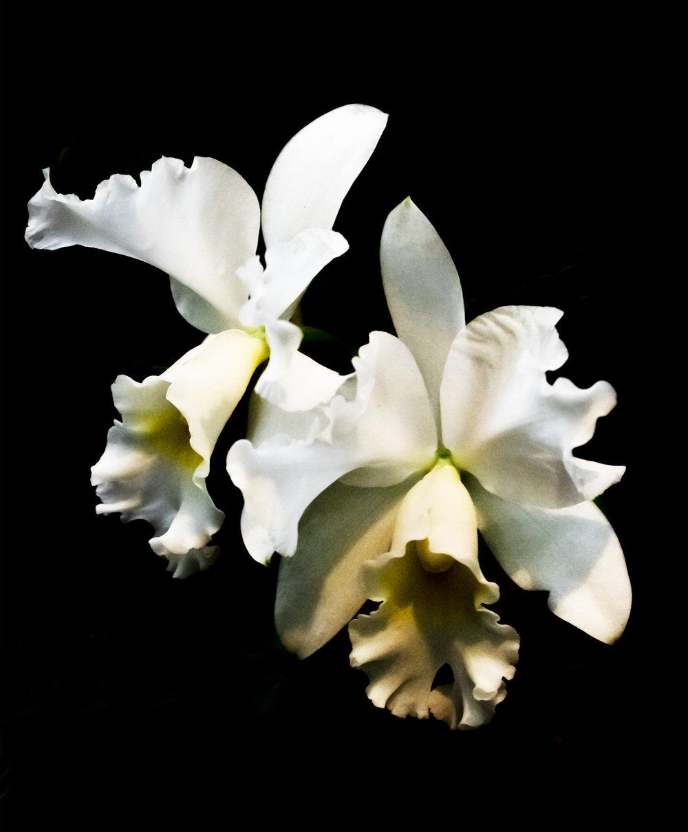 Orchid Hybrid: Cattleya Henrietta Japhet at U. S. Botanical Garden