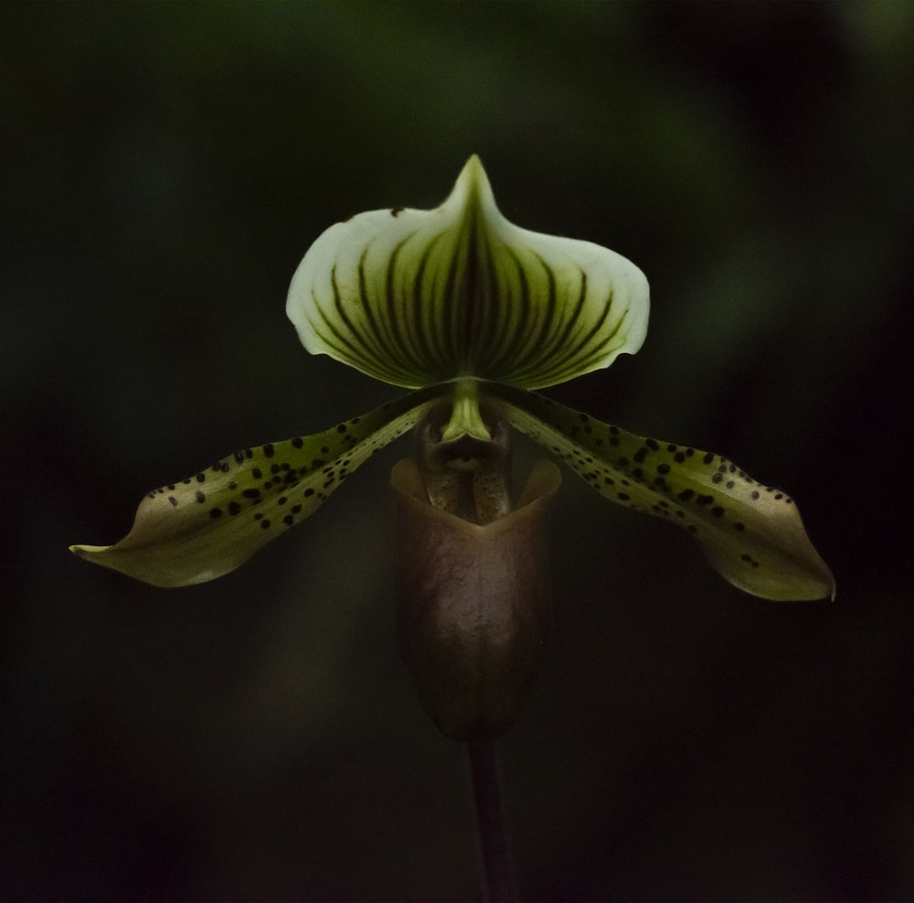 Orchid Hybrid: Paphiopedilum William Mathews at U. S. Botanical Garden, Washington D. C.