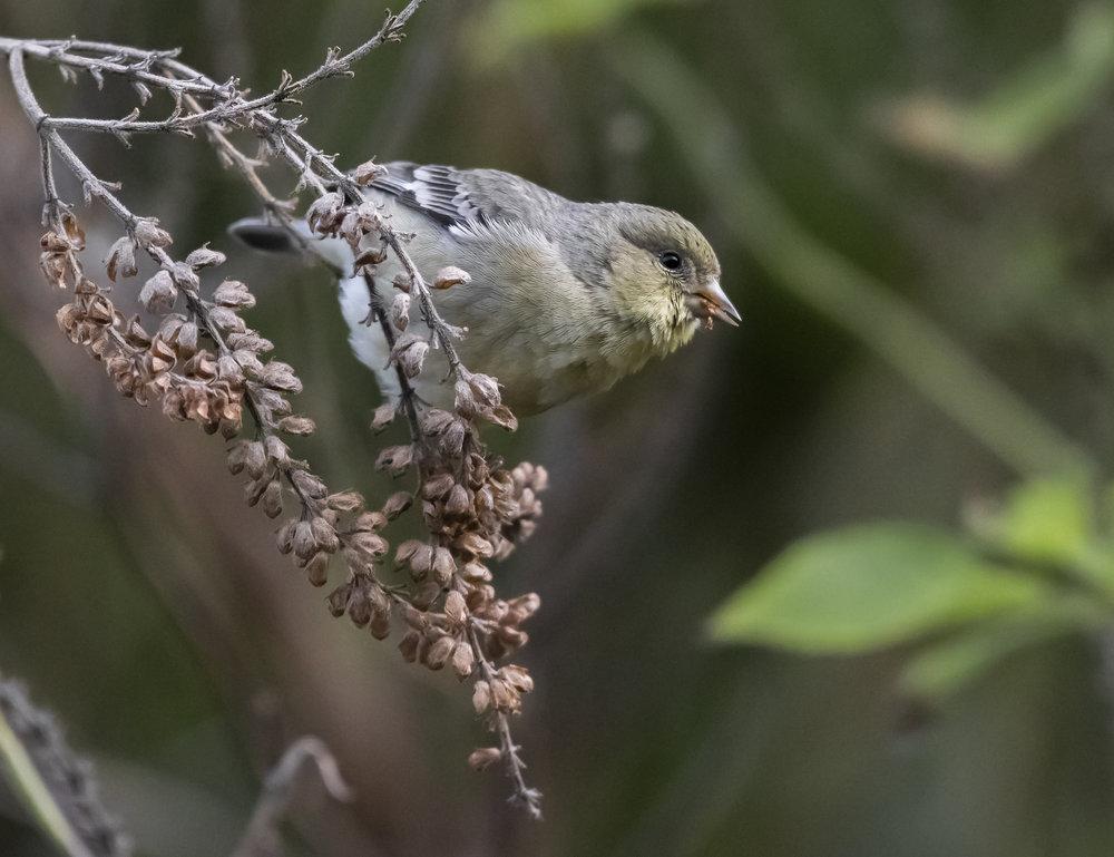 Lesser Goldfinch in San Jose, California