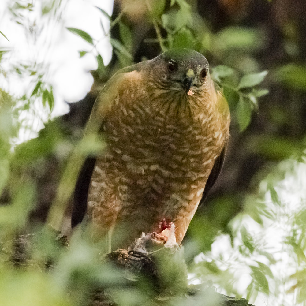 Red-shouldered Hawk with a prey in San Jose, California