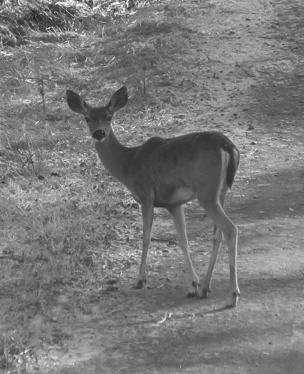 Deer at Santa Teresa County Park, San Jose, California
