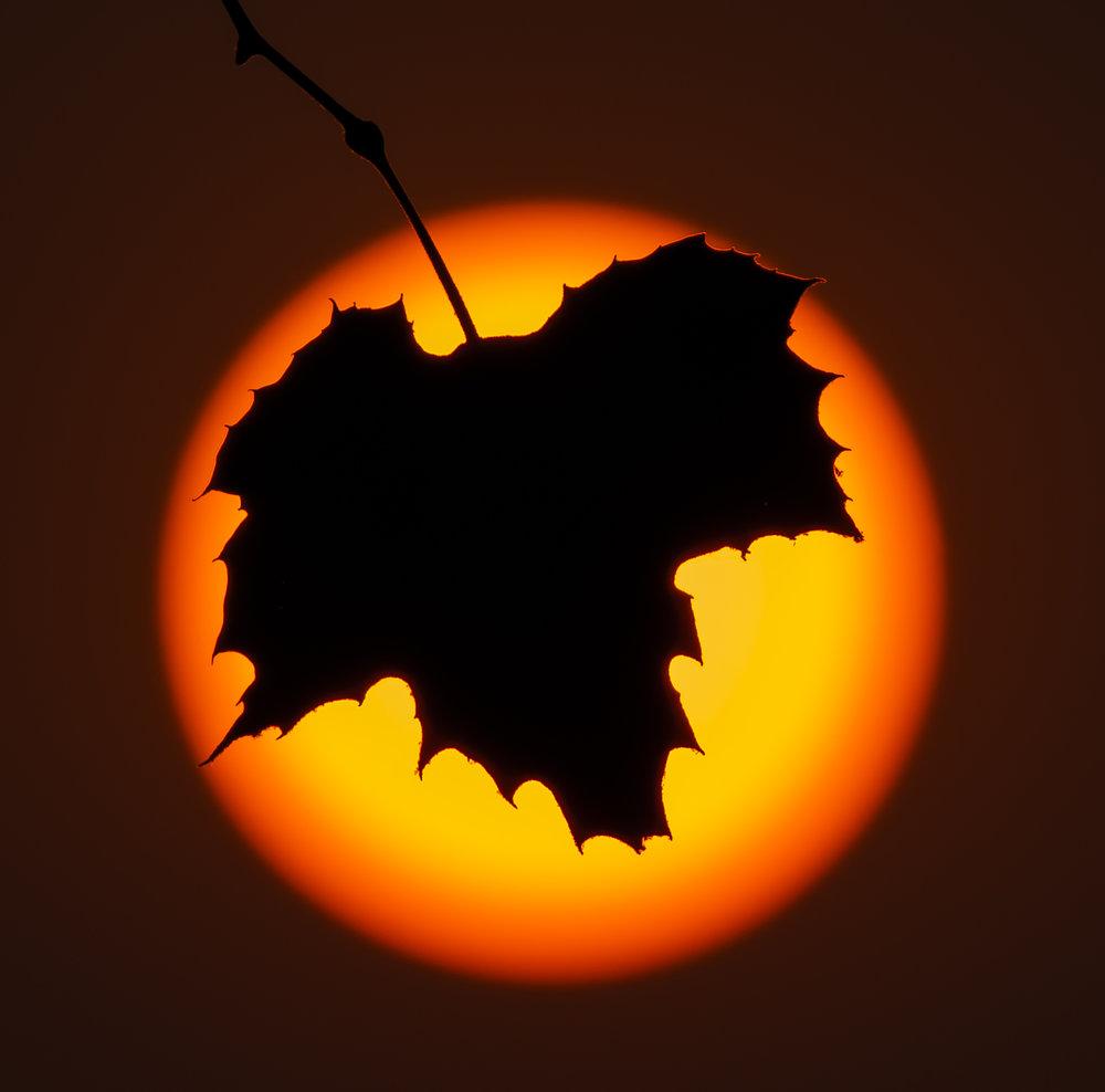sunleaf1.1.jpg