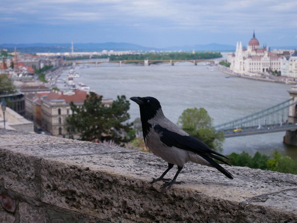 Utsikt från Budaslottet. Hängde lite med den lokala slottskråkan, han berättade att de flesta turister är ganska störande.