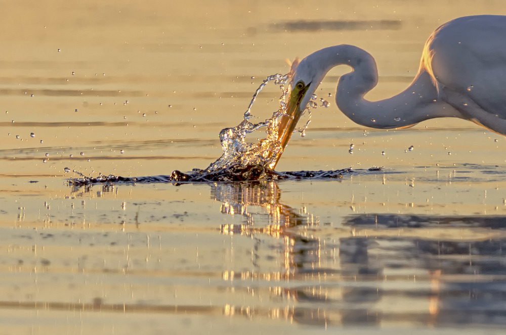 Golden_Egret.jpg