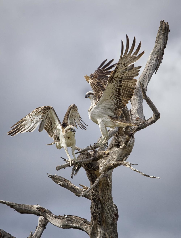 Osprey_Pair.jpg